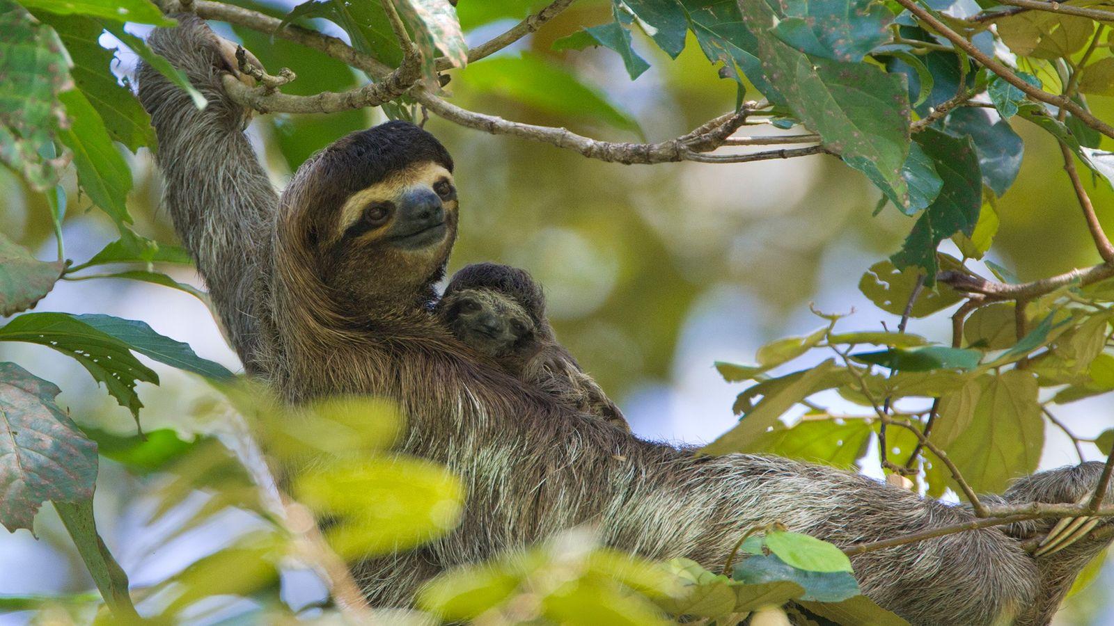 Uma preguiça-comum e sua cria descansam no Santuário de Bichos-Preguiça de Aviarios, na Costa Rica, em ...