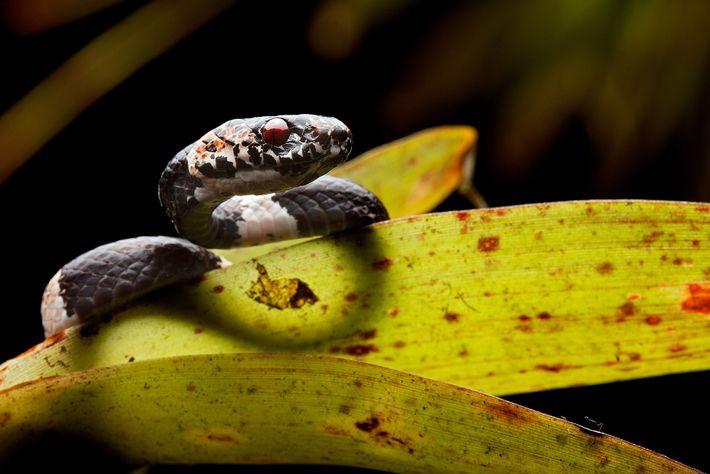 A nova espécie Dipsas bobridgelyi foi nomeada em homenagem a um ornitólogo e conservacionista americano.