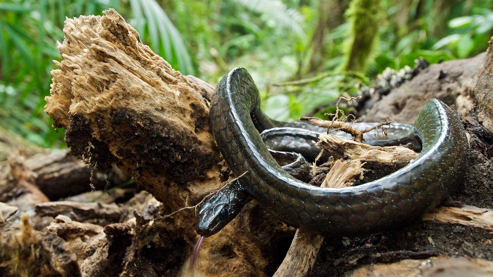 Serpentes tropicais estão desaparecendo por surto fúngico que tem dizimado suas presas