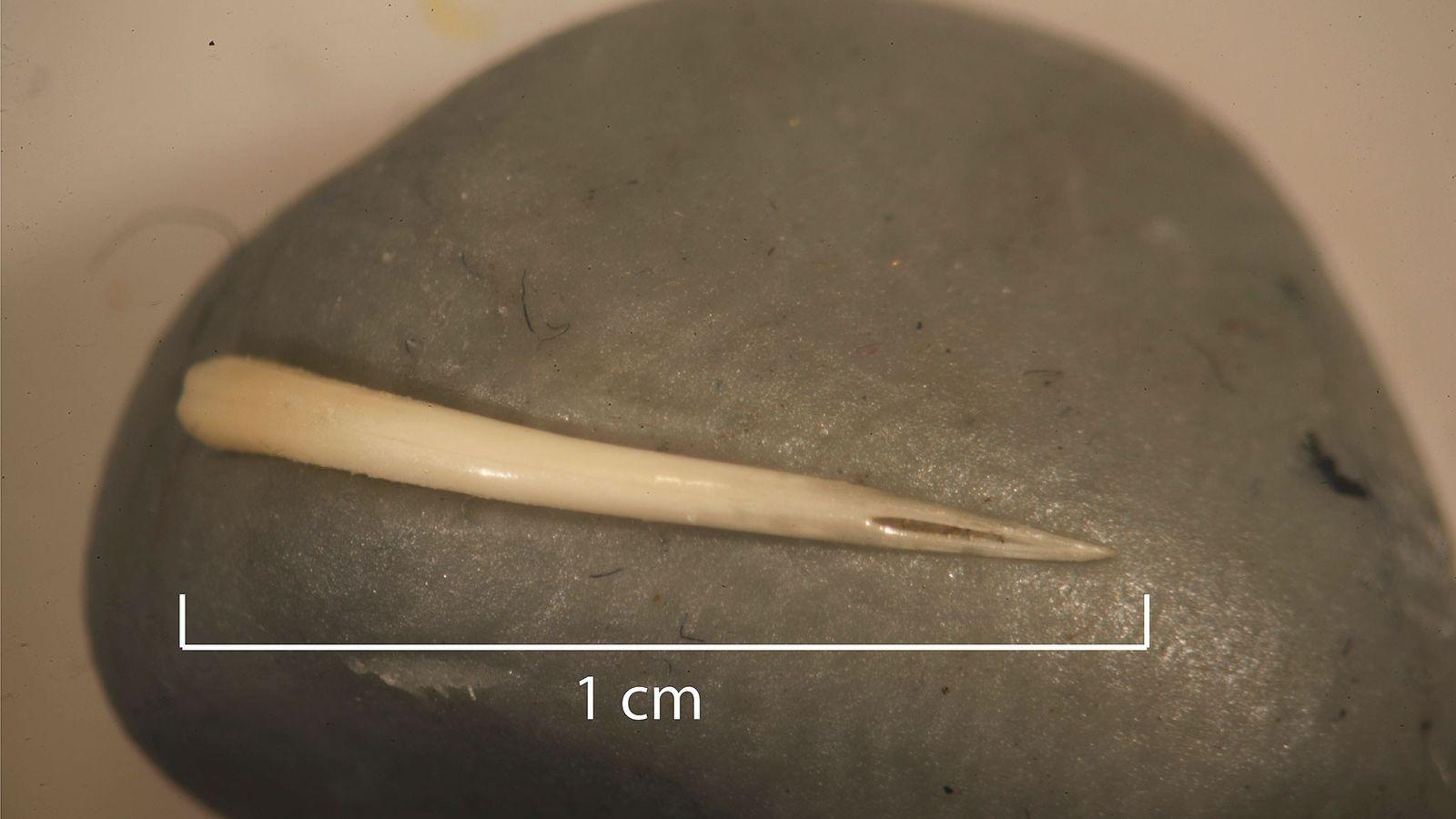 Esse dente de víbora, provavelmente de uma cascavel ou de uma cabeça-de-cobre, estava preservada num coprólito ...