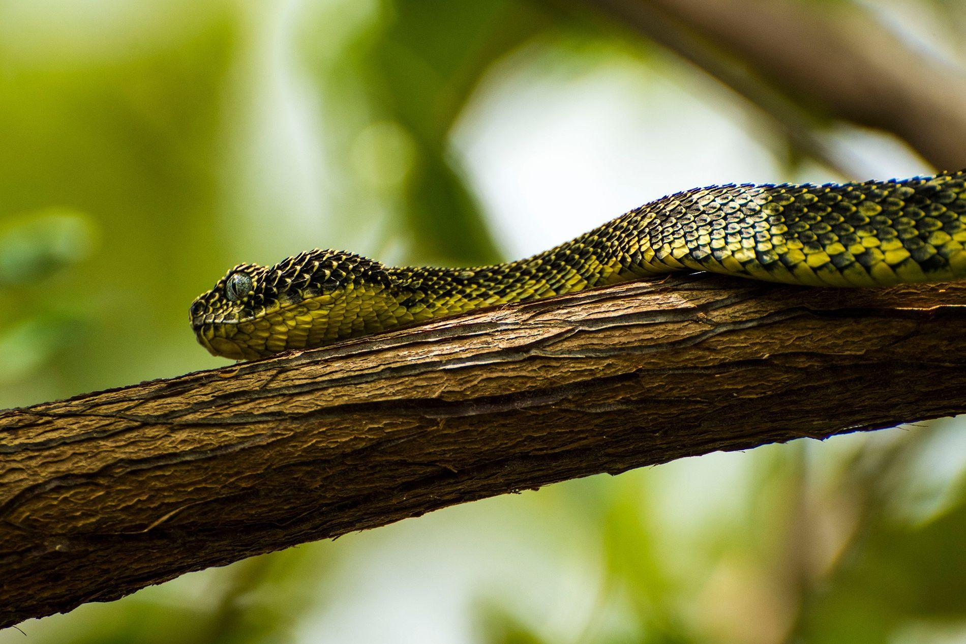 A Atheris desaixi, espécie também encontrada apenas em regiões limitadas de Chuka, no Quênia, está ameaçada ...