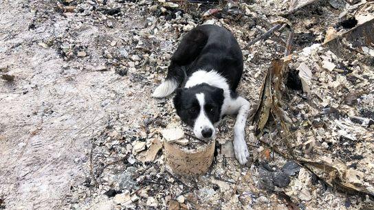 Piper, uma border collie do Instituto de Ciência Forense Canina, avisa o seu treinador que encontrou ...