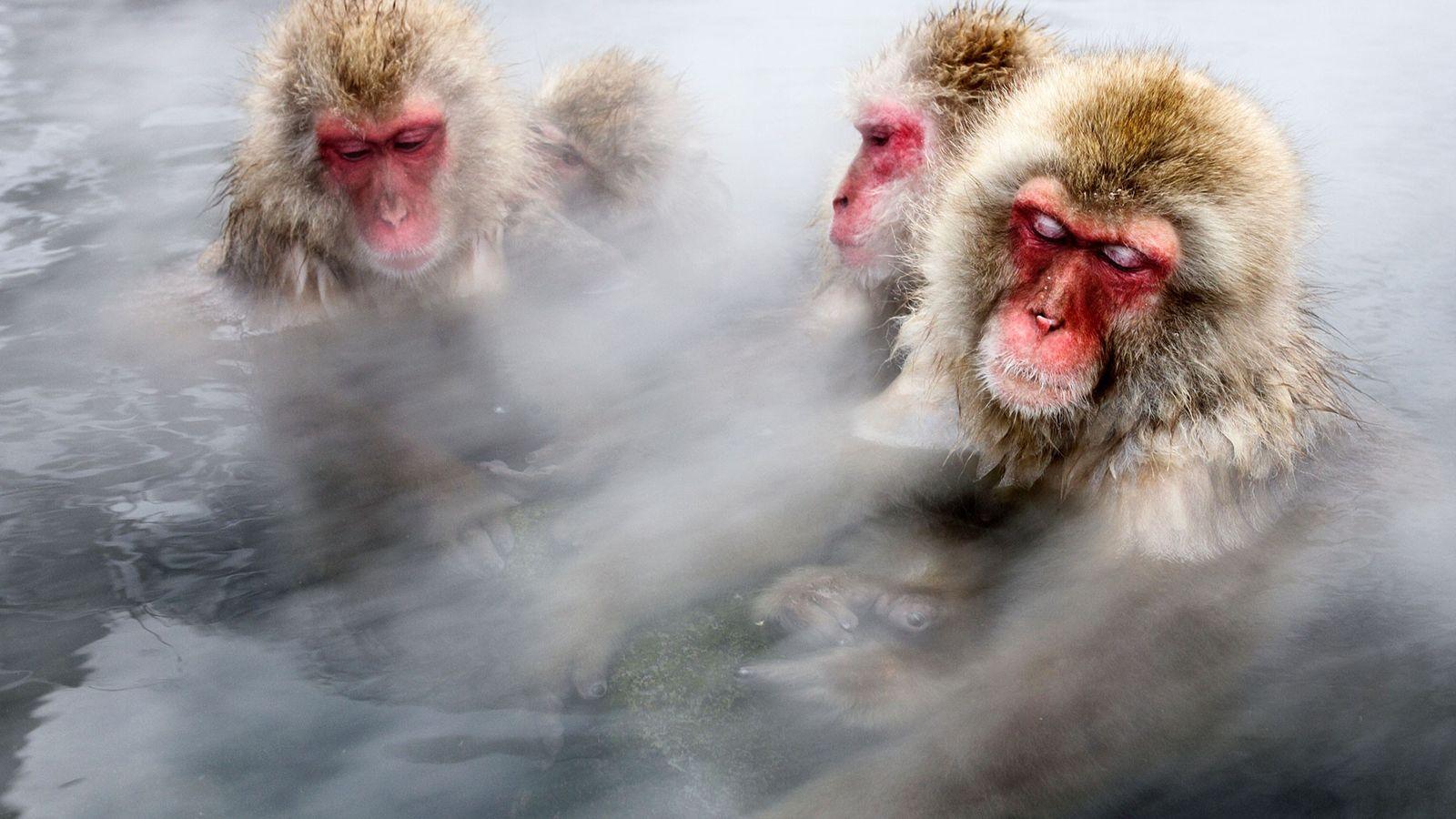 Os macacos mergulham em água fervente na localidade de Jigokudani, no Japão.