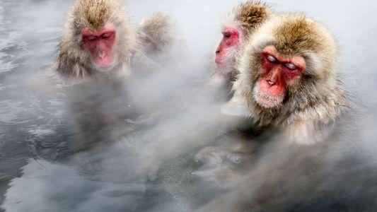 Macacos-da-neve japoneses tomam banhos quentes para diminuir o estresse