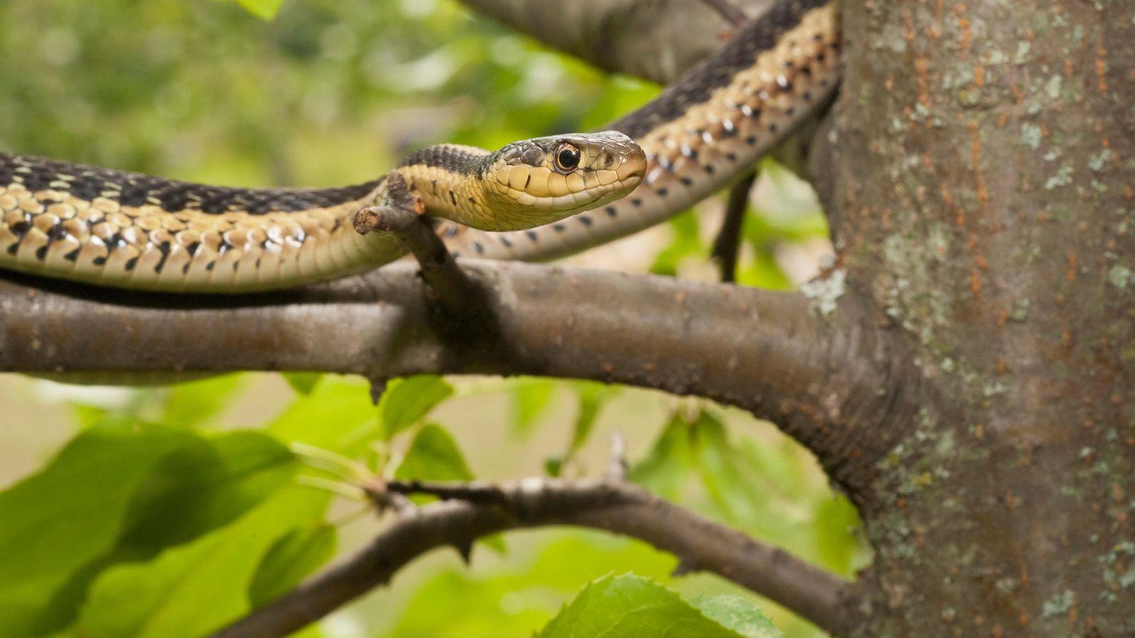 A cobra-de-jardim da espécie Thamnophis sirtalis sirtalis é nativa do leste da América do Norte.