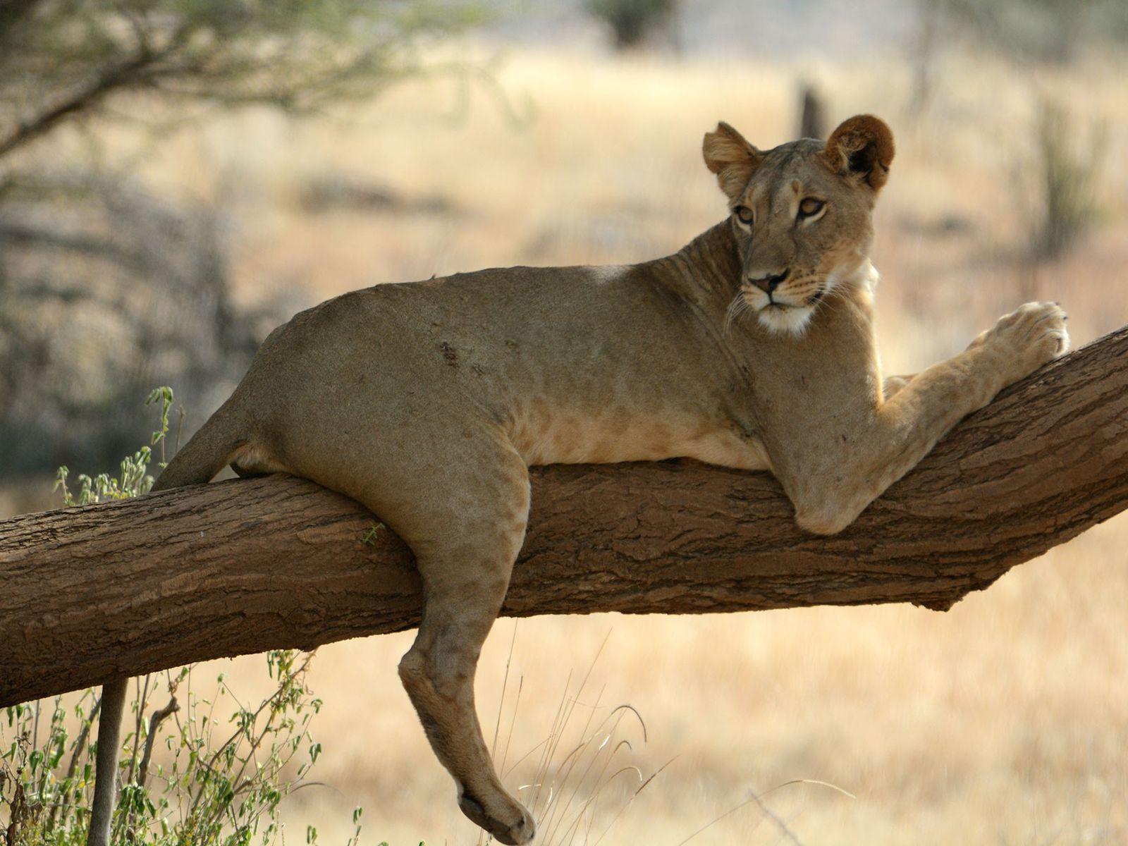 Uma leoa chamada Nadala descansa em uma árvore na Reserva Nacional de Samburu, no Quênia, onde ...