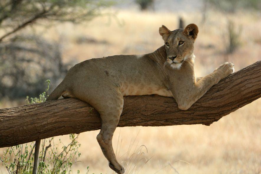 Esse é o único local da Terra onde os leões vivem sós