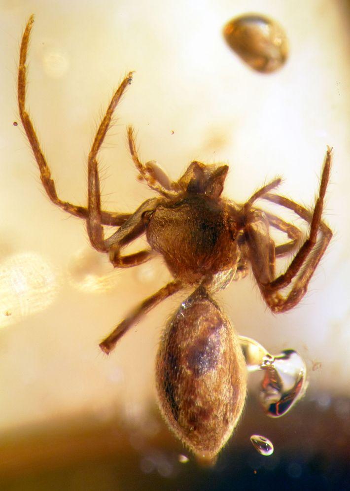 Antes desse estudo, todos os fósseis conhecidos de lagonomegopids—um grupo extinto de aranhas—haviam sido encontrados em ...