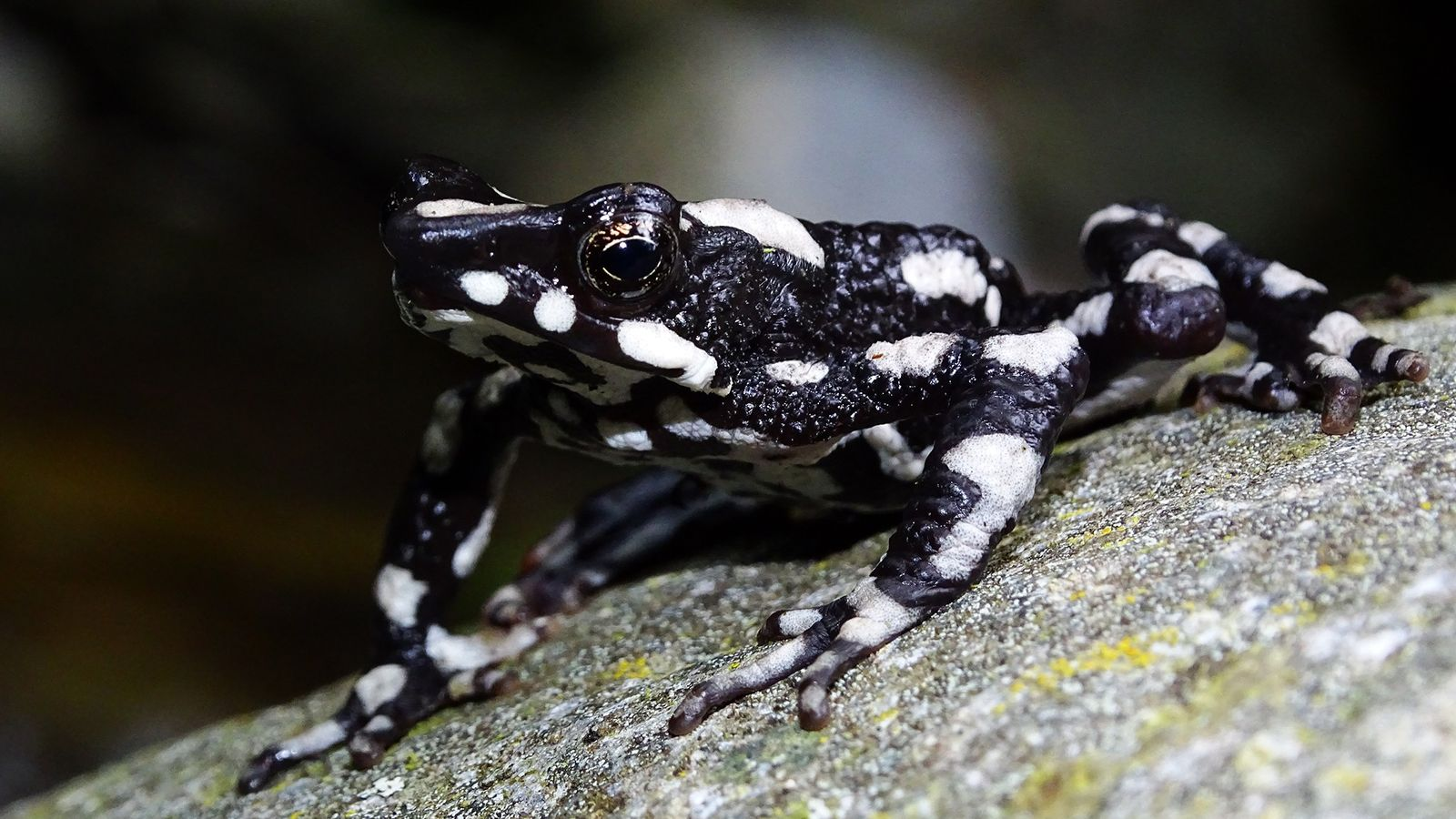 O sapo-arlequim-da-noite-estrelada (Atelopus aryescue) foi batizado em homenagem ao céu limpo e estrelado de seu habitat ...