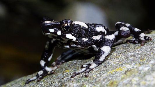 Considerada extinta por 30 anos, espécie de sapo é redescoberta