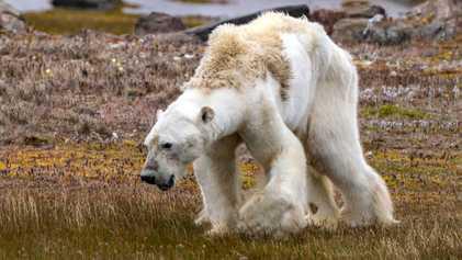 Fotógrafa do urso morrendo de fome explica por que não pôde ajudar