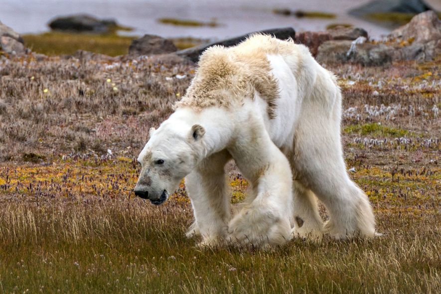 Os músculos fracos do urso-polar, atrofiados por uma fome prolongada, mal conseguiam mantê-lo em pé.