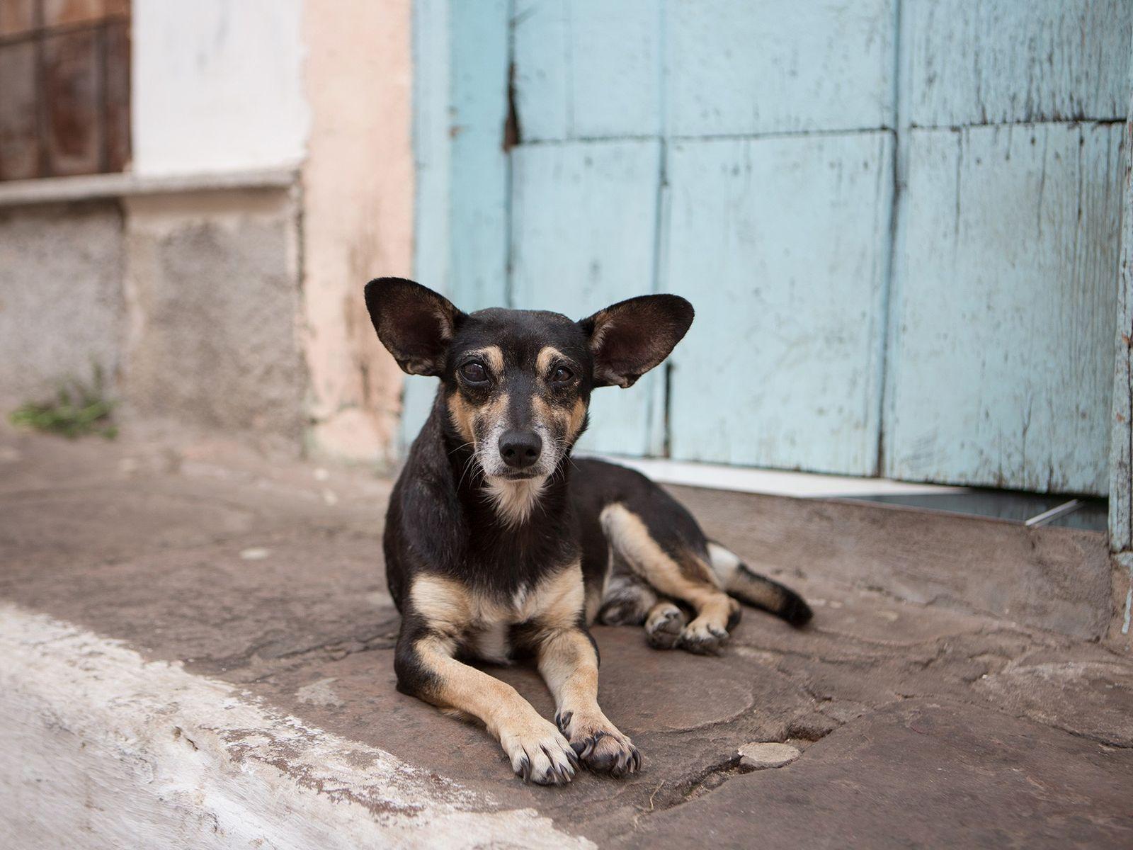 Pesquisa pode melhorar a convivência entre pessoas e caninos nômades, que chegam a centenas de milhares ...