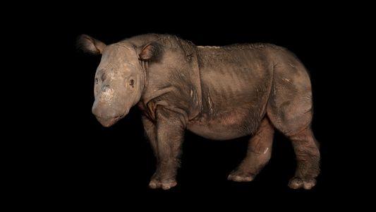Morre o último rinoceronte-de-sumatra macho da Malásia