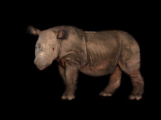 Morre o último rinoceronte-de-sumatra na Malásia