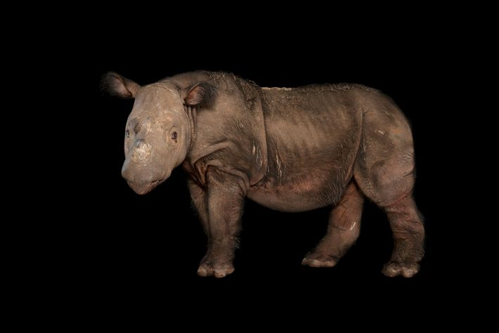 Harapan, um rinoceronte-de-sumatra macho, posa para foto no Centro de Conservação White Oak, na Flórida, onde ...