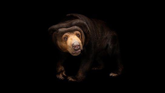 Ursos-do-sol conseguem imitar com destreza as expressões de outros ursos-do-sol, com habilidades de mimetismo facial que ...