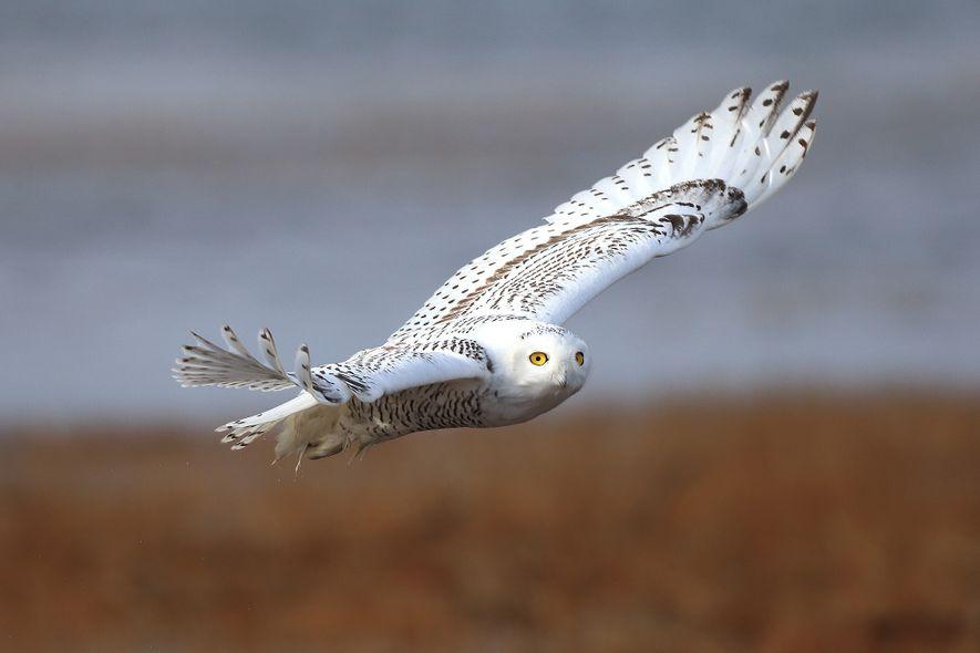 Uma coruja-das-neves voa sobre Maine. A espécie, dos ambientes frios, acasala sobre a tundra do Ártico.