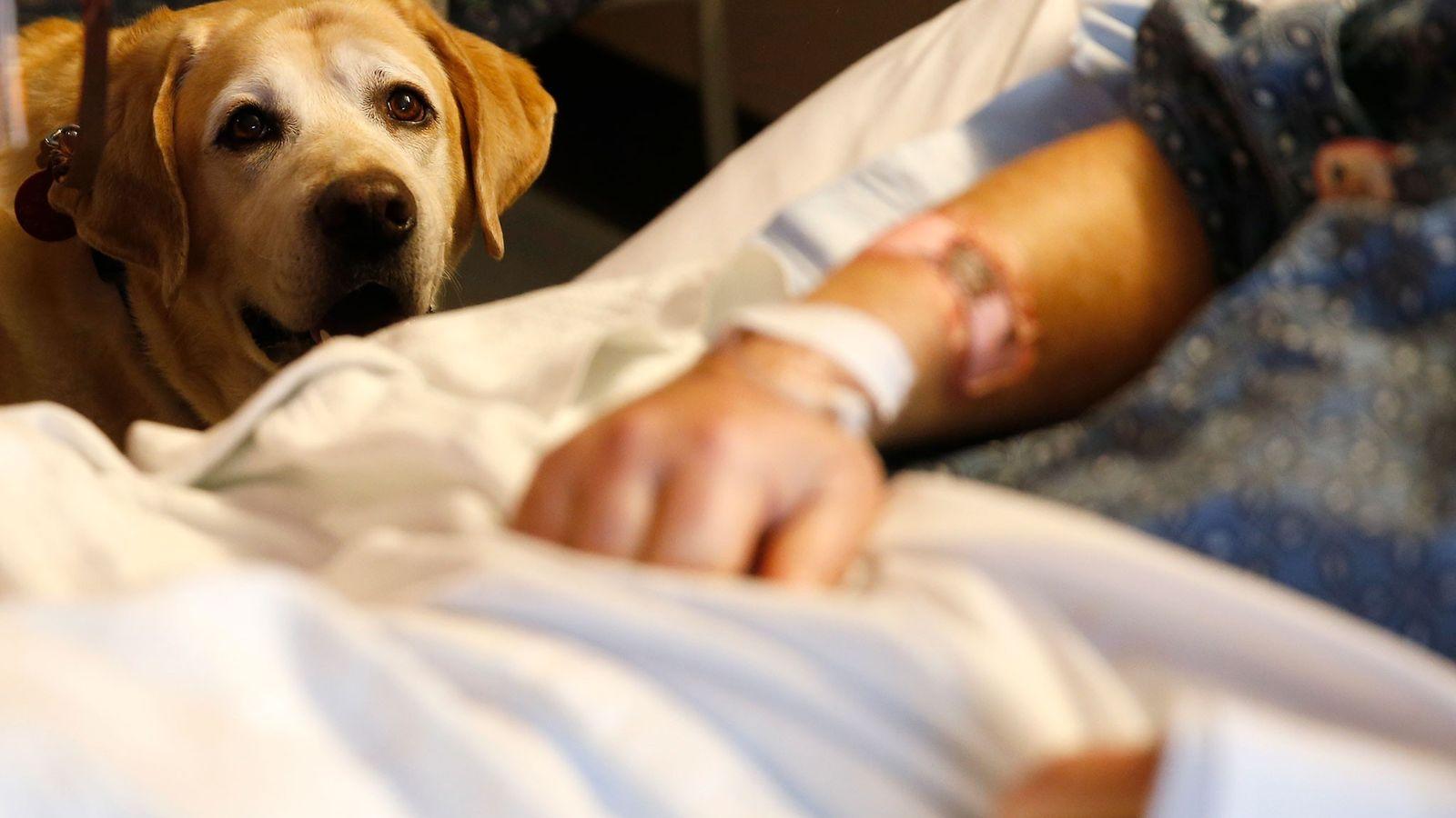 Um cão terapeuta chamado Tucker visita o paciente Jim Cawley no Hospital Geral de Massachussets em ...