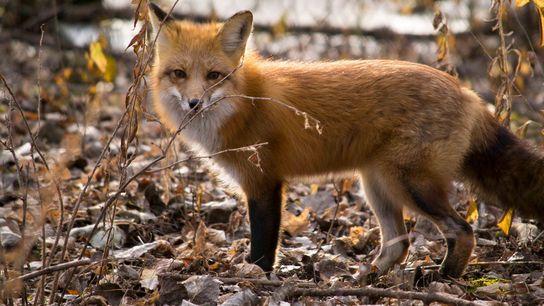 Raposas e outros animais com caudas felpudas podem usar as caudas para ajudá-los a se equilibrar ...