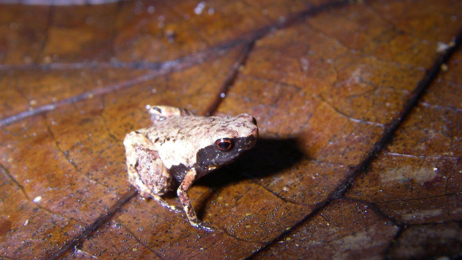 O Mini mum vive nas folhas mortas ao longo da costa leste de Madagascar.
