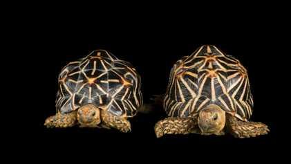Relato chocante descreve imensa rede de comércio ilegal de tartarugas