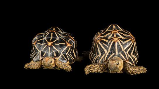 Mais de mil tartarugas-estreladas-indianas, espécie com rigorosas limitações comerciais na legislação internacional, foram apreendidas em recente ...