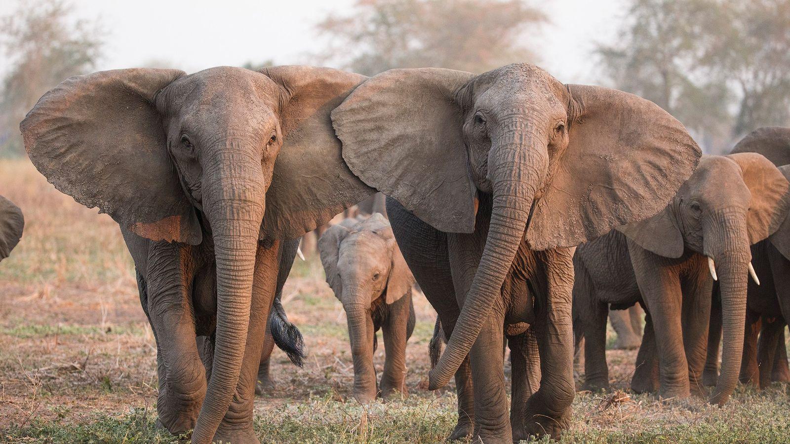 Elefantes com raro traço genético que faz com que nasçam sem presas tiveram maior chance de ...