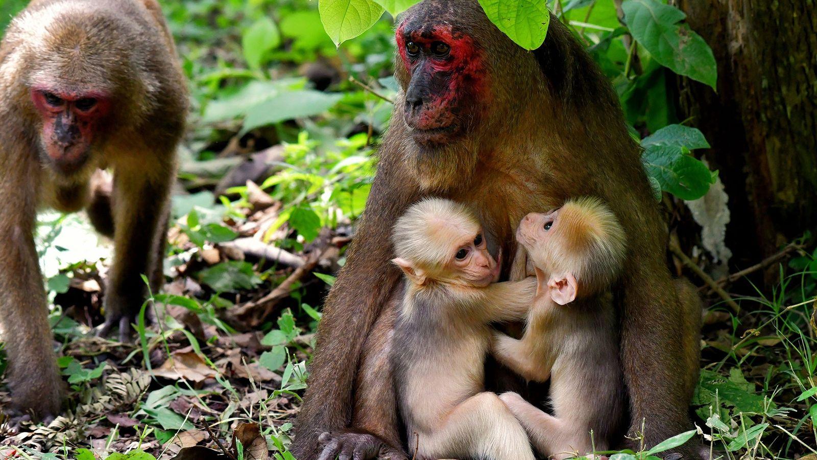 A macaco-urso mãe, conhecida como TNG-F19, segura seus gêmeos enquanto um outro membro do grupo se ...