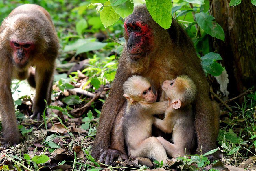 Esses macacos gêmeos extremamente raros têm pais diferentes
