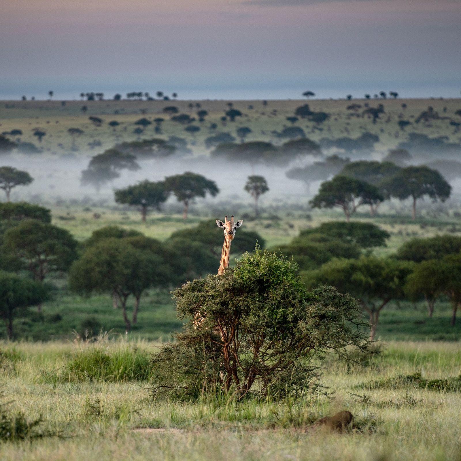 O Parque Nacional Murchison Falls é um reduto para as girafas que ainda restam em Uganda. ...