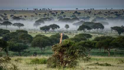 Pandemia impulsiona caça ilegal em Uganda