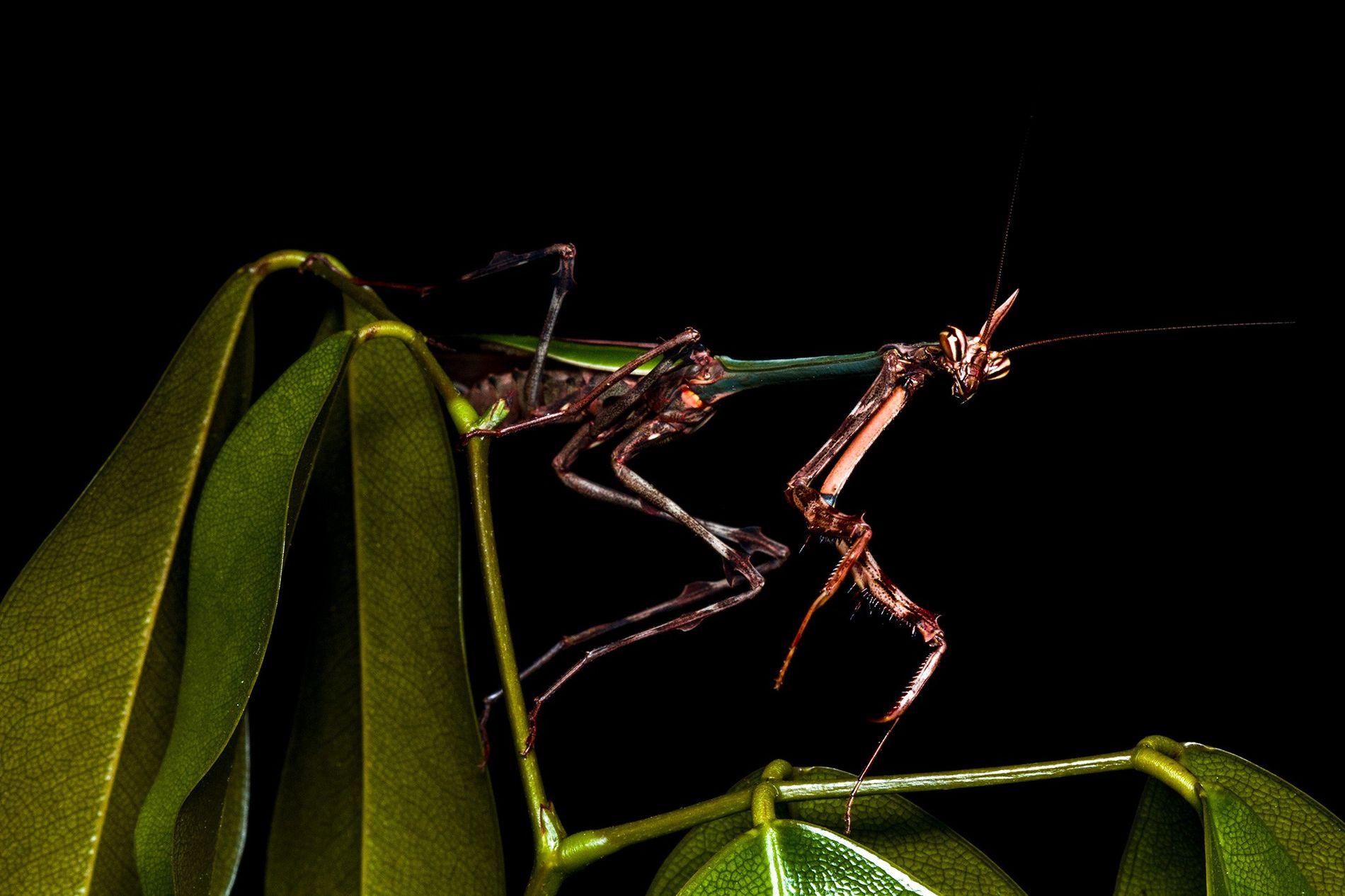 Louva-a-deus unicórnio encontrado na Reserva Ecológica de Guapiaçu, no Brasil, do gênero Zoolea, que pode ser ...