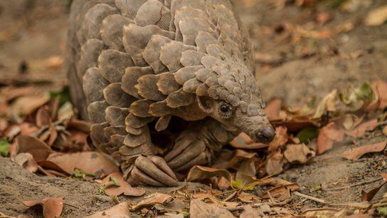 Este pangolim da espécie Smutsia temminckii foi resgatado de caçadores ilegais em Moçambique e devolvido à ...