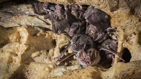 Morcegos-vampiros-comuns em uma caverna na Costa Rica.