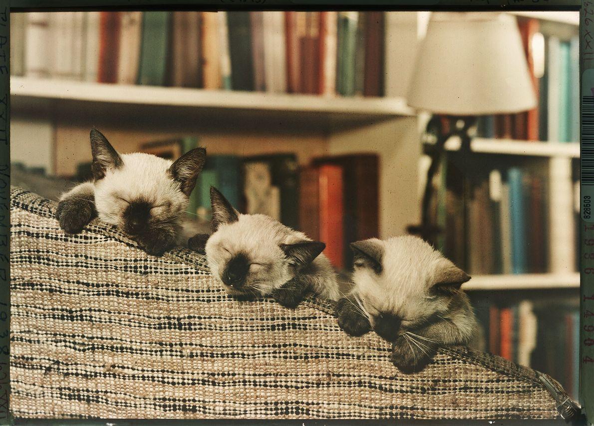 Um trio de gatinhos siameses dorme em um sofá, em Washington, D.C.