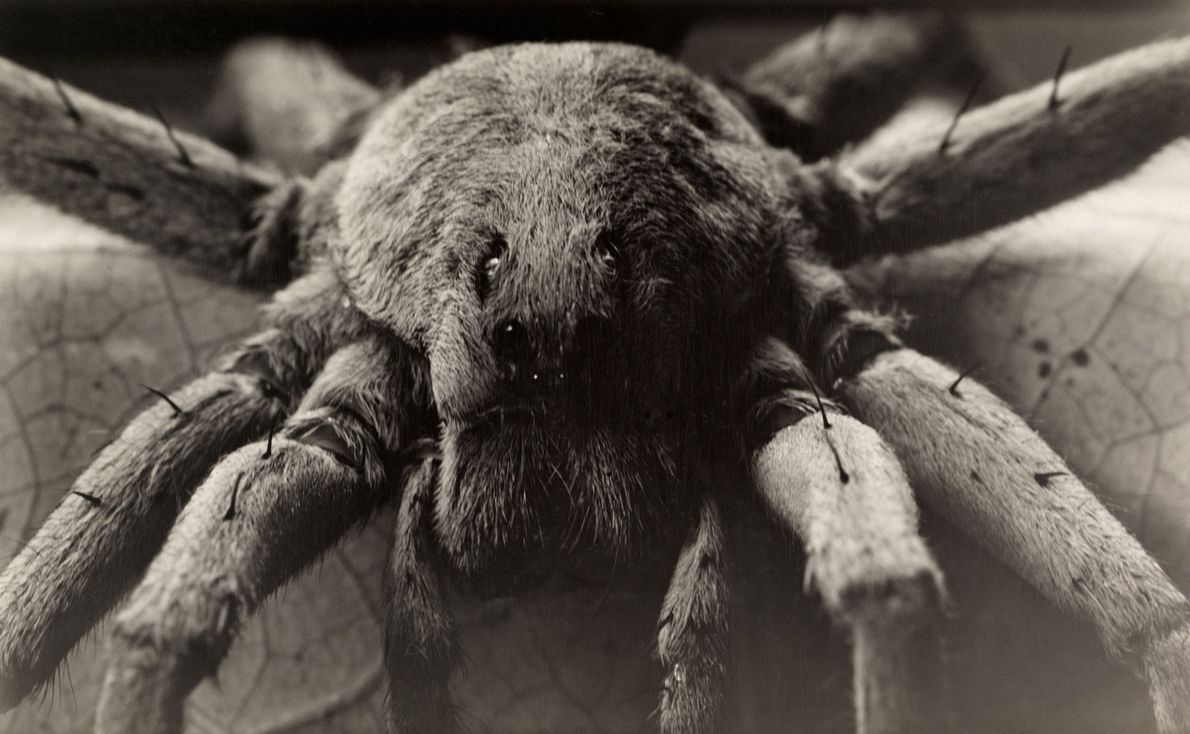 Dentre as maiores das aranhas-lobo, aranhas-lobo da Carolina saem à noite para caçar presas.