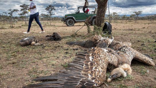 Pelo menos 10 abutres ingeriram veneno ao se alimentarem do corpo de uma hiena morta com ...