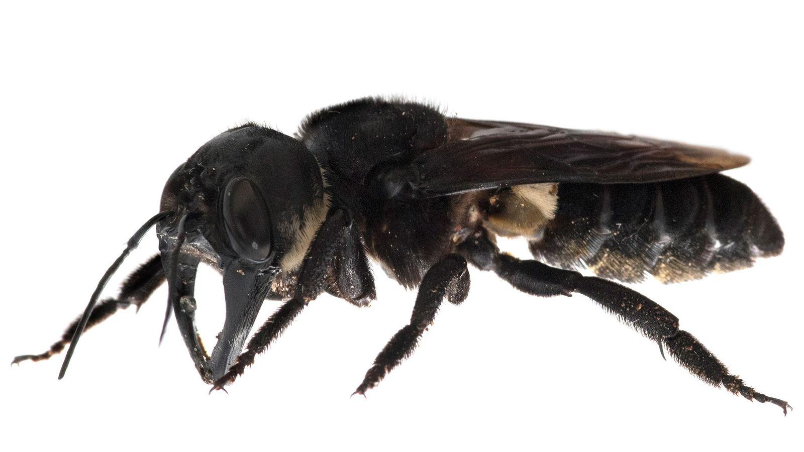 A abelha-gigante-de-Wallace (Megachile pluto) possui uma envergadura de 6,35 centímetros e grandes mandíbulas, muito semelhantes às ...