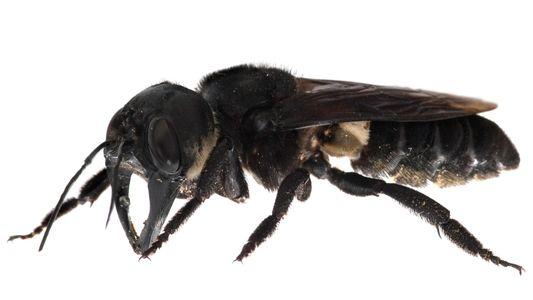 Antes considerada extinta, maior abelha do mundo é filmada viva na natureza