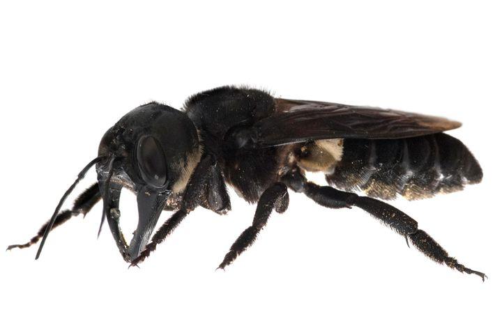 A abelha-gigante-wallace é extremamente rara, sua espécie está ameaçada por causa de colecionadores e ela não ...