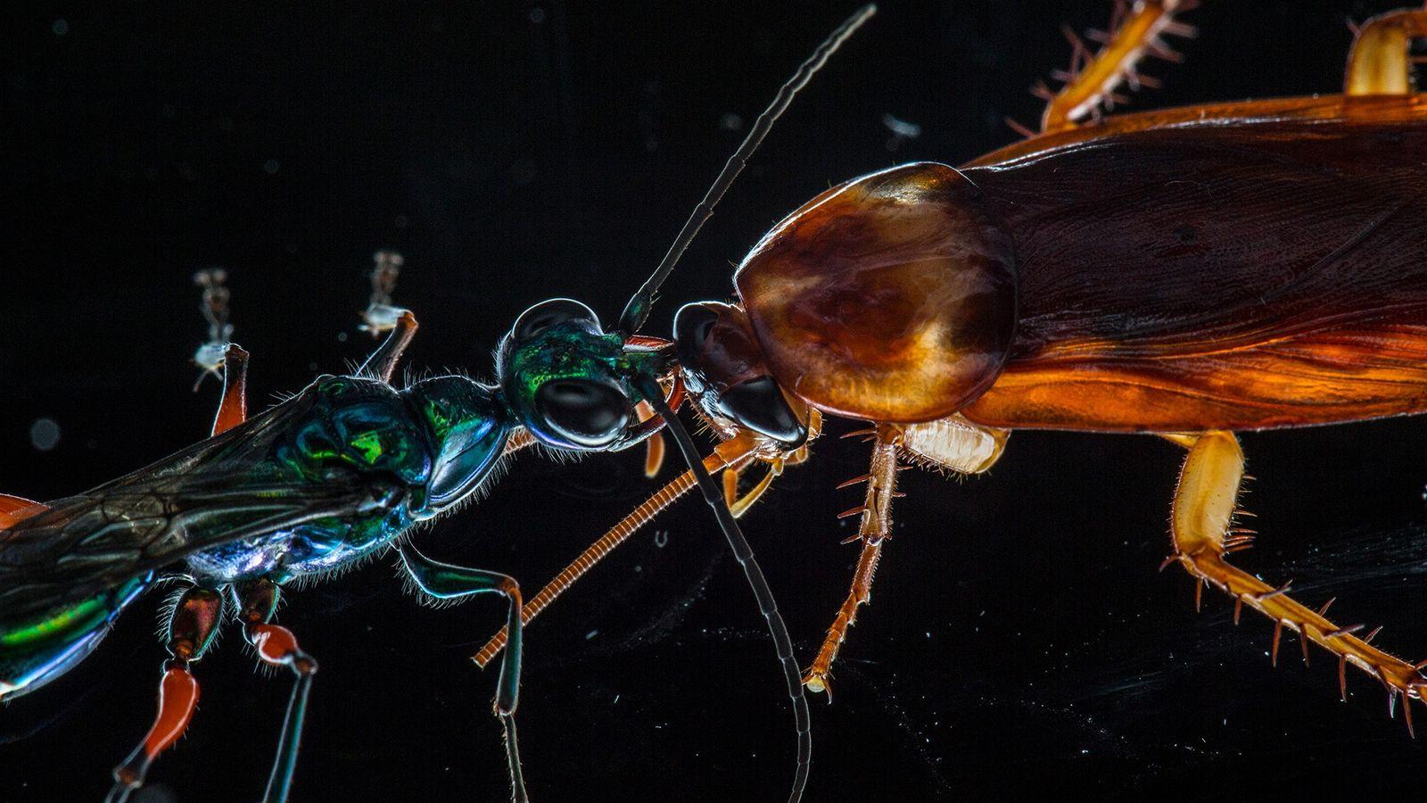 Um estudo recente mostra como baratas usam chutes e outros movimentos de defesa para afastar seu ...