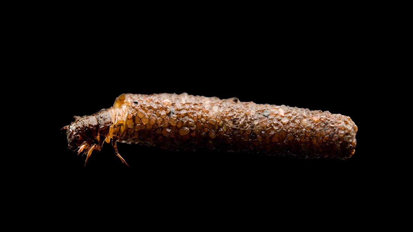 Uma mosca-d'água usa sua carapaça protetora em um retrato de estúdio.
