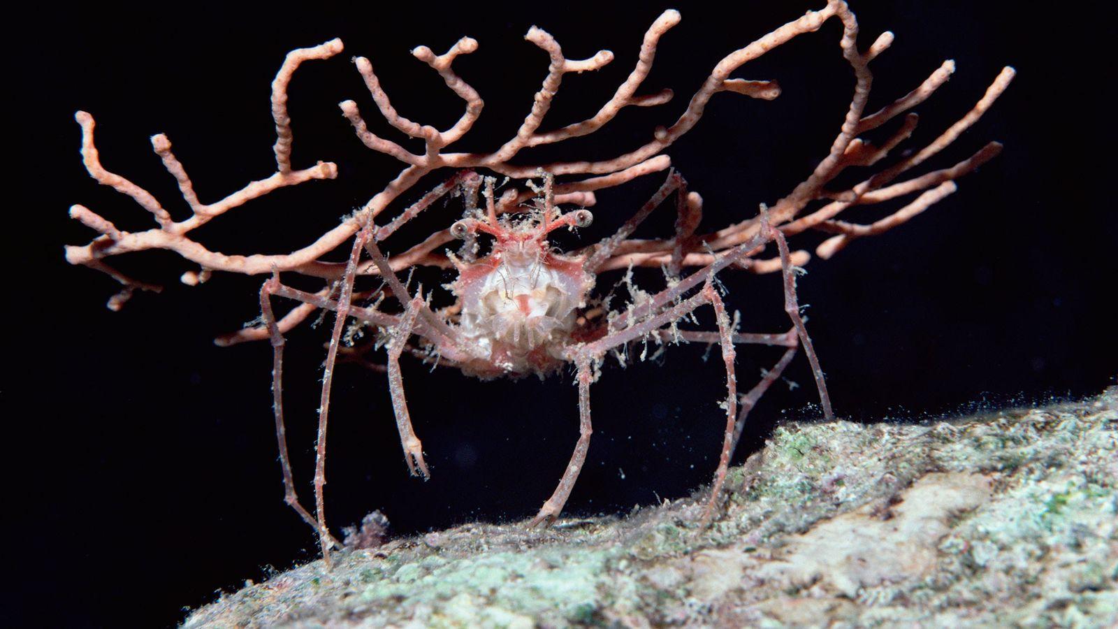 Não tem nada aqui... um caranguejo-decorador no Mar Vermelho usa um pedaço de coral mole como ...