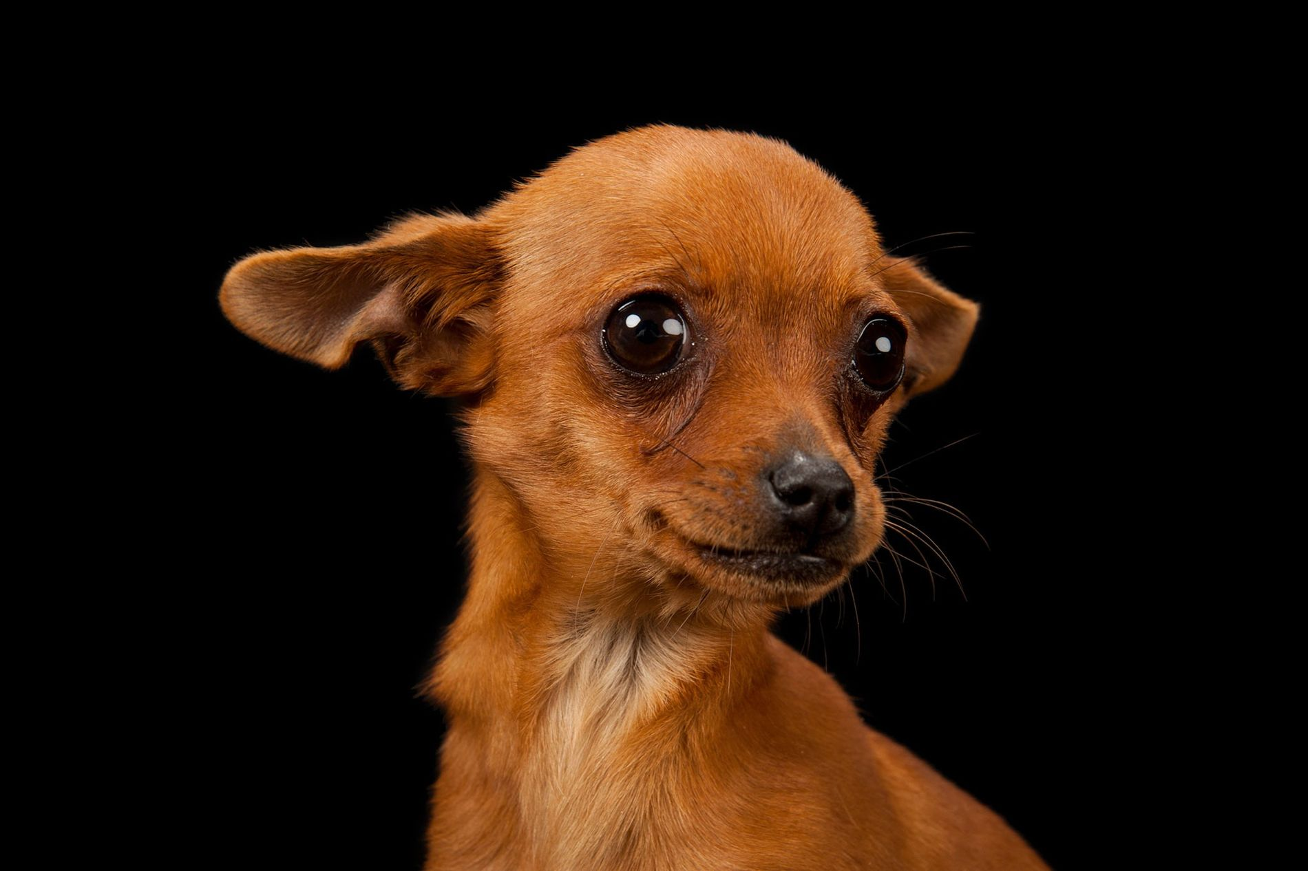 Cinny, uma chihuahua de três meses, posa para a foto.