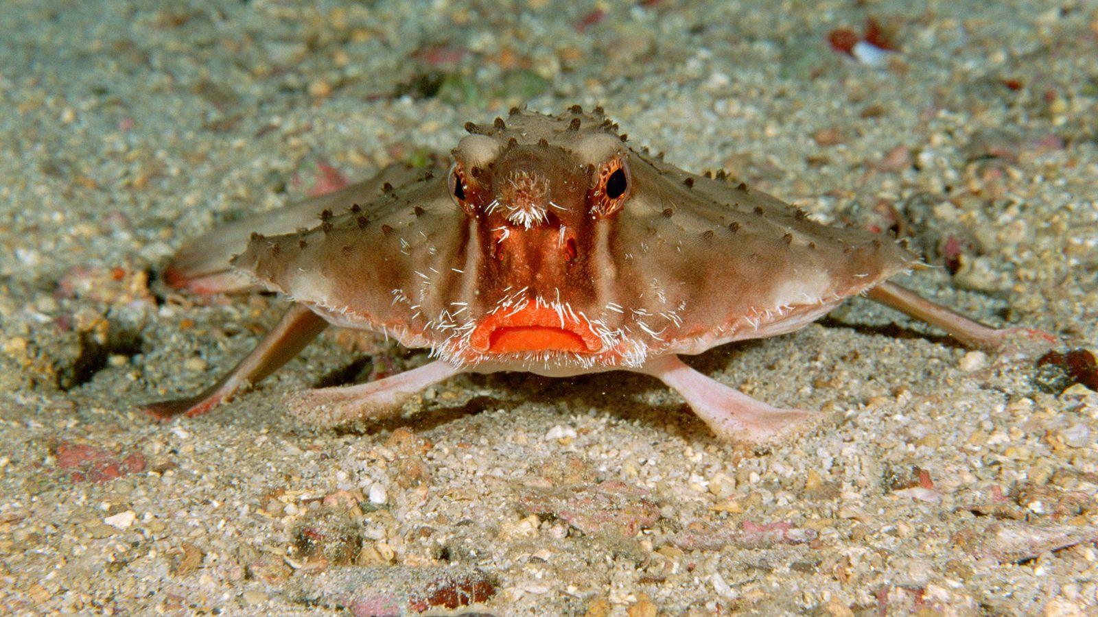 No fundo do oceano da Ilha Cocos, Costa Rica, o peixe-morcego de lábios vermelhos quase sempre ...