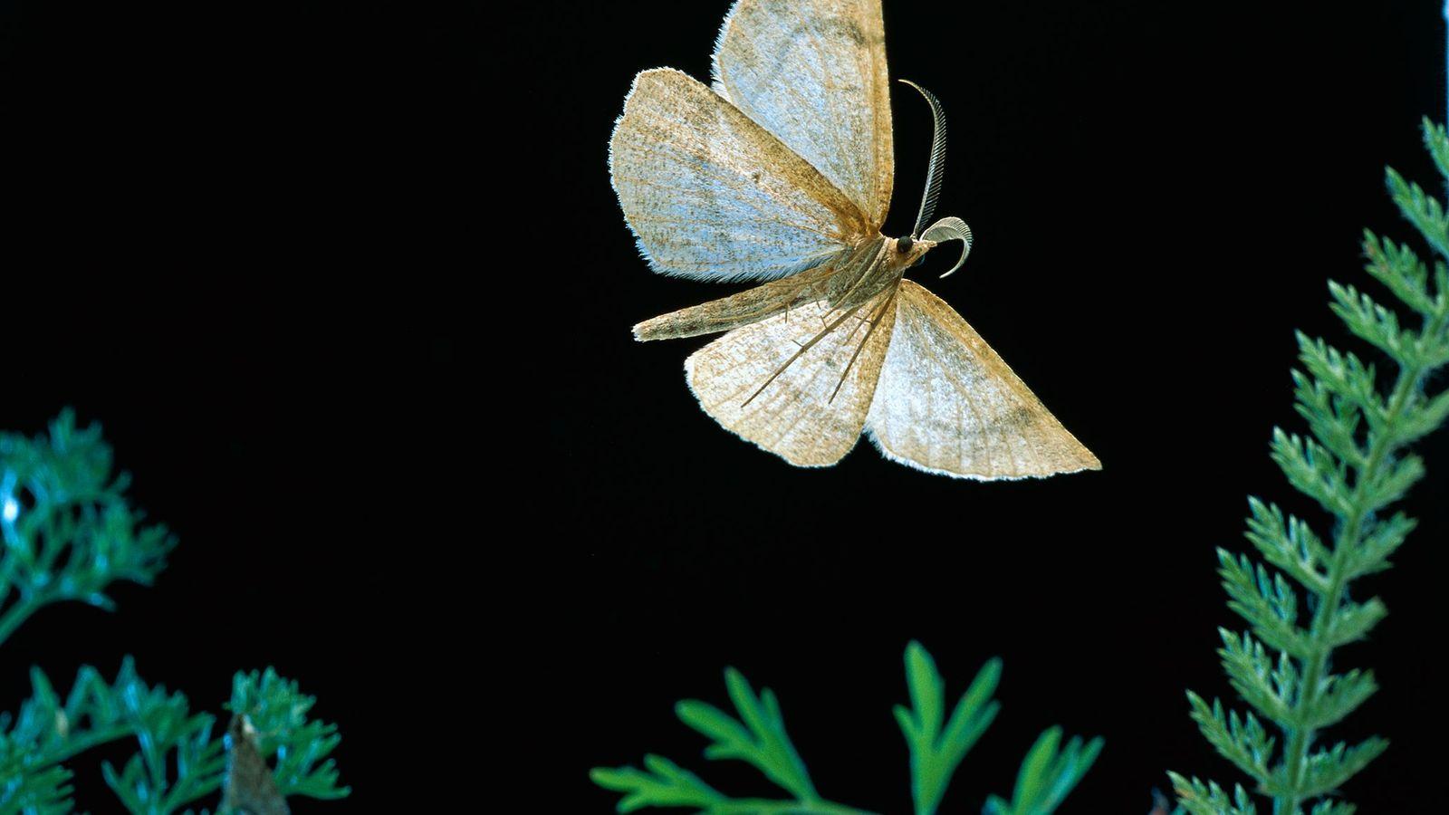 A traça da espécie Tricholupsia ni, vista aqui na Floresta Nacional de Mount Hood no Oregon, ...