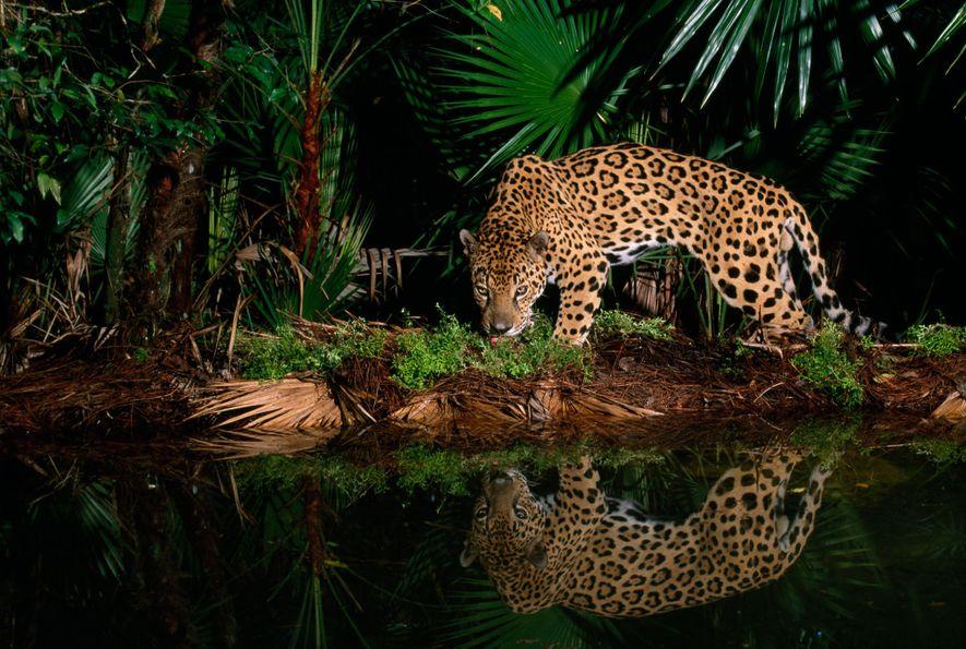 Um jaguar chamado Pepe caminha pela margem de um aguaceiro no Zoológico de Belize.