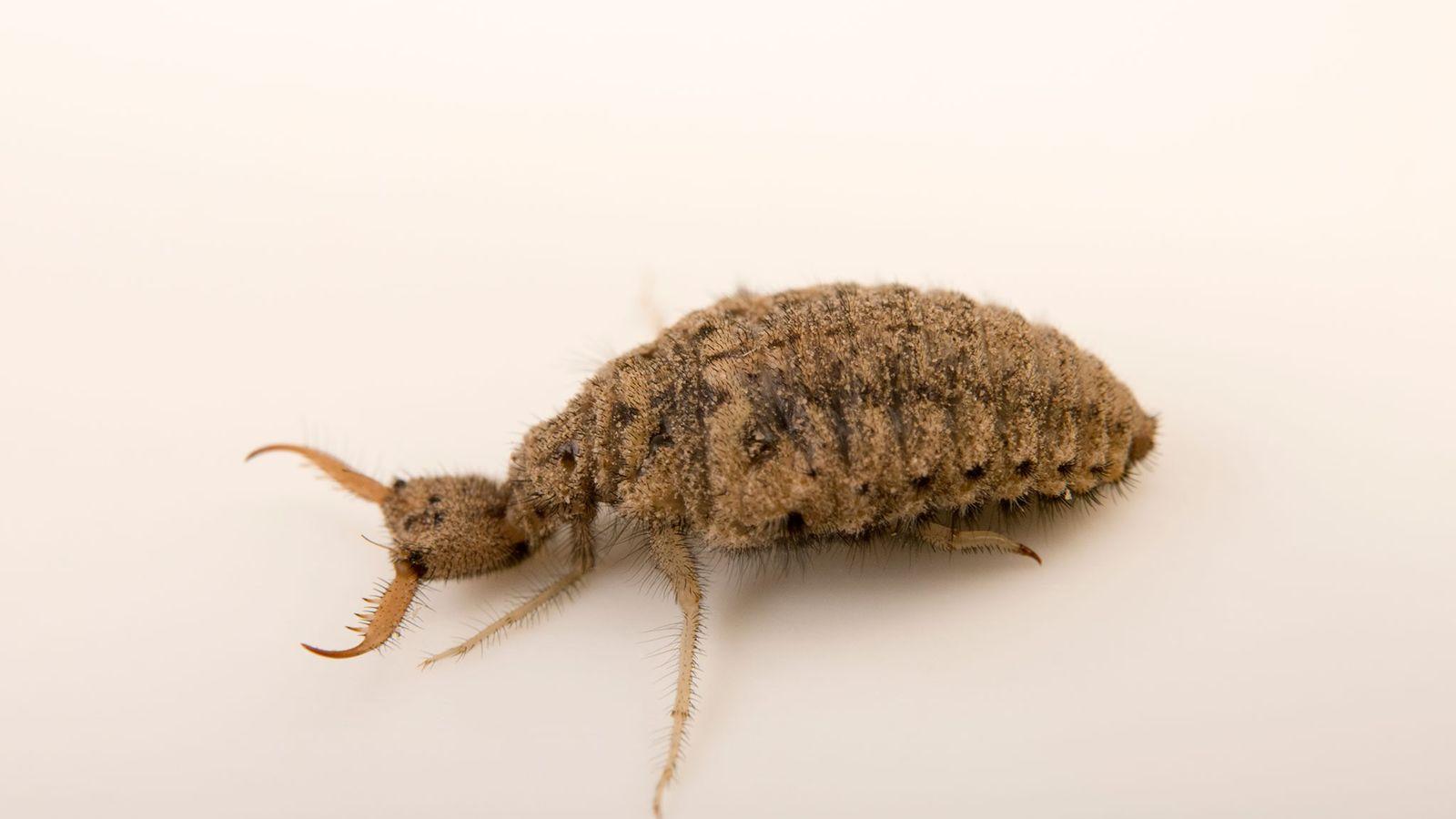 As formas larvais da formiga-leão, como essa da Estação Biológica de Cedar Point, são predadoras tão ...