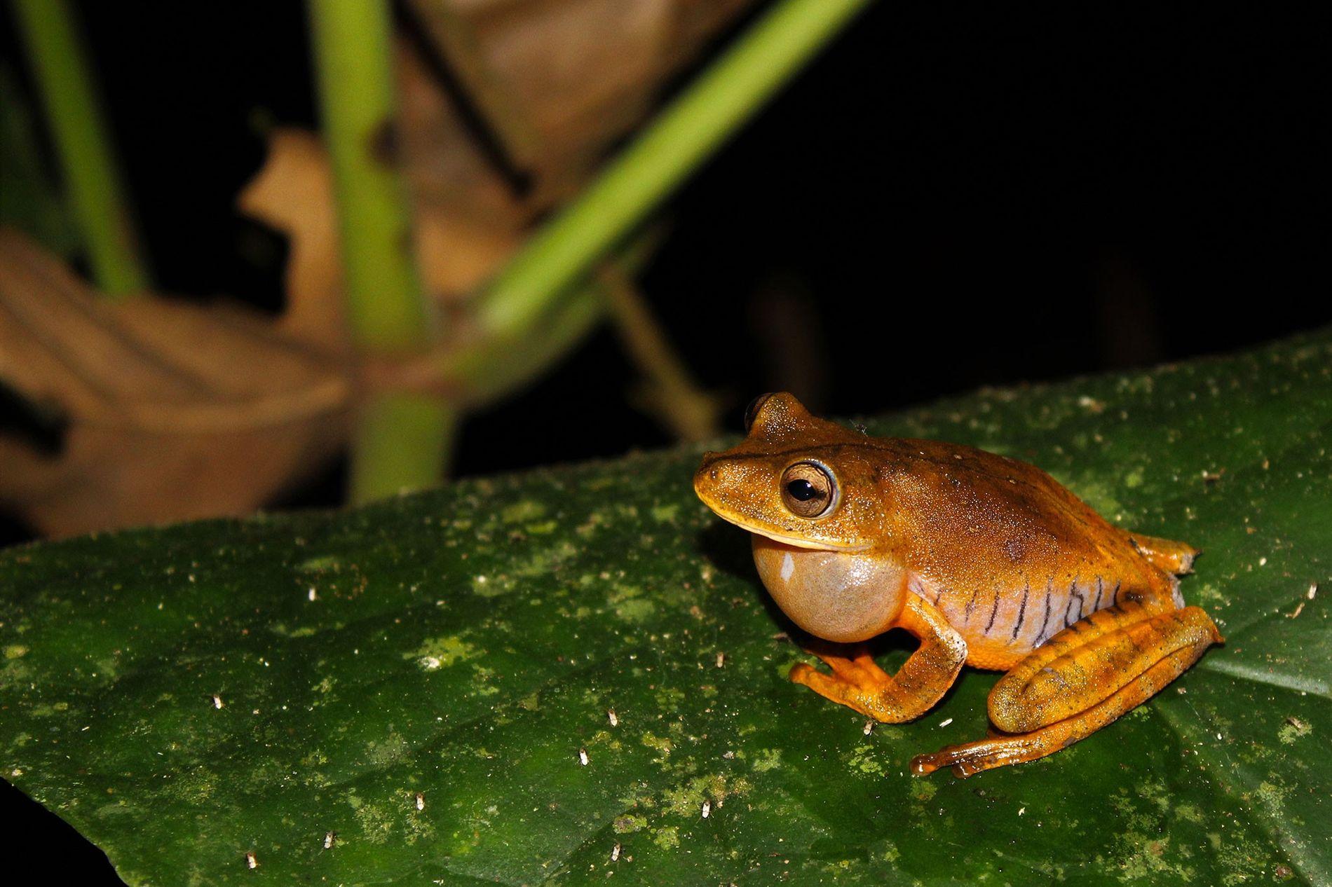 A nova espécie recebeu o nome da lendária tribo de guerreiras indígenas Icamiabas da Amazônia.